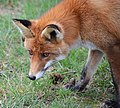 A curious foxmother in detail at Hoge Veluwe Holland - panoramio.jpg