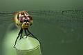 A dragonfly (9283824528).jpg