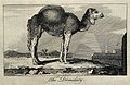 A dromedary standing in an exotic landscape. Etching. Wellcome V0021343.jpg