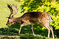 A fallow deer walking forward.jpg