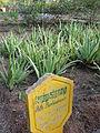A field of Aloe barbadensis.JPG