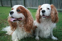 Cavalier king charles spaniel wikipedia the breed is well known for its loving temperament altavistaventures Images