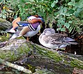 A pair of Mandarin ducks - geograph.org.uk - 1550811.jpg