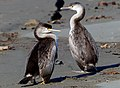 A pair of Pied Shags.NZ (18511441728).jpg