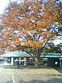 A scene people red leaves winter Japan.jpg