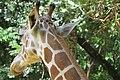 A shy giraffe.jpg