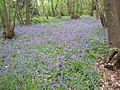 A swathe of bluebells in Lesnes Abbey Woods - geograph.org.uk - 1899506.jpg
