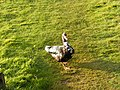 A very tame duck at the Melton Reserve - geograph.org.uk - 1020267.jpg