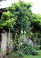 A wisteria and hollyhocks Clavering Essex England 2.jpg