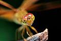 A yellow dragonfly.jpg