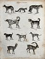 Above, a jackall, a fox, a wolf and two dogs; below, a bulld Wellcome V0020663ER.jpg
