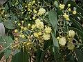 Acacia caerulescens.jpg