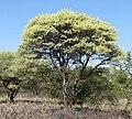 Acacia tortilis subsp heteracantha, blomtyd, Lekkerbreek-plaas, a.jpg