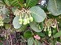 Acajou fruits à Pobé.jpg