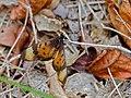 Acara Acraea (Acraea acara) female (11625310144).jpg