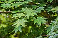 Acer cappadocicum in Hackfalls Arboretum (4).jpg