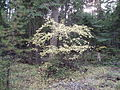 Acer glabrum Corona Road Plains MT 10-09-11 shrub.JPG