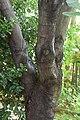 Acer monspessulanum in Jardin botanique de la Charme.jpg