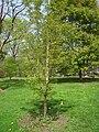 Acer triflorum, Arnold Arboretum - IMG 5932.JPG