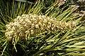 Aciphylla aurea kz3.jpg