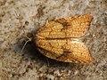 Acleris rhombana - Rhomboid tortrix - Плоская листовёртка сетчатая (44815125192).jpg