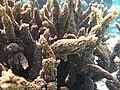 Acropora hemprichii Macro 2 Maldives.jpg