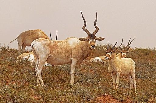 Addax (Addax nasomaculatus) adult male and juvenile