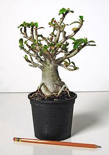 List Of Species Used In Bonsai Wikipedia