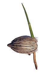 Adonidia merrillii, Germination.jpg