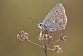 Adonis Blue - Polyommatus bellargus 2.JPG
