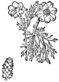 Adonis autumnalis, Nordisk familjebok.png