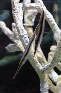 Aeoliscus strigatus Prague 2011 2.jpg