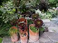 Aeonium arboreum 'Atropurpureum' in terracotta pots in Seattle.jpg