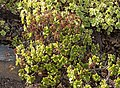 Aeonium lindleyi - Jardín Botánico Canario Viera y Clavijo - Gran Canaria.jpg