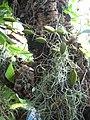 Aeschynanthus pulcher, RBGE 2009.jpg