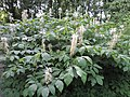 Aesculus parviflora kz16.jpg