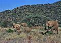 African Elephants (Loxodonta africana) (7662451124).jpg