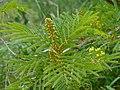 African Wattle (Peltophorum africanum) (11515483534).jpg