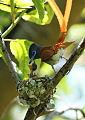 African paradise flycatchers, Terpsiphone viridis, nesting at at Walter Sisulu National Botanical Garden, December 1, 2014 (15917154336).jpg
