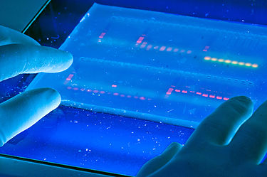 Agarose gel with UV illumination - Ethidium bromide stained DNA glows orange (close-up).jpg