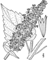 Agastache scrophulariifolia drawing.png