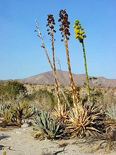 <i>Agave deserti</i> species of plant