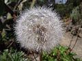 Agoseris grandiflora1.jpg