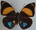 Agrias amydon athenais ab. amaryllis (cropped).jpg
