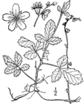Agrimonia microcarpa drawing.png