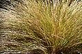 Agrostis lessoniana in Dunedin Botanic Garden 02.jpg