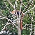 Ailurus fulgens - Sikkim 1158-01.jpg