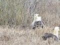 Albatross birds - Espanola - Hood - Galapagos Islands - Ecuador (4871103401).jpg