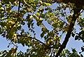 Albercocs a l'arbre, Senija.jpg