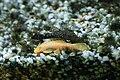 Albino Bristlenose Plecostomus.jpg